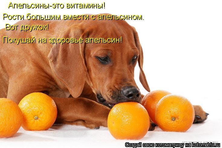 Котоматрица: Апельсины-это витамины! Рости большим вмести с апельсином. Вот дружок! Покушай на здоровье апельсин!
