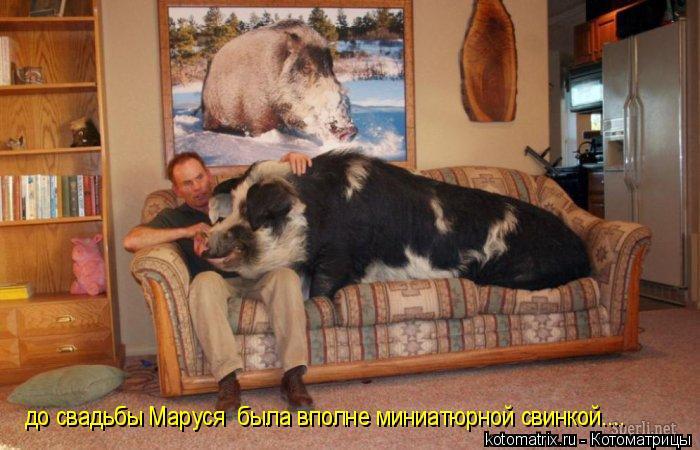 Котоматрица: до свадьбы Маруся  была вполне миниатюрной свинкой....