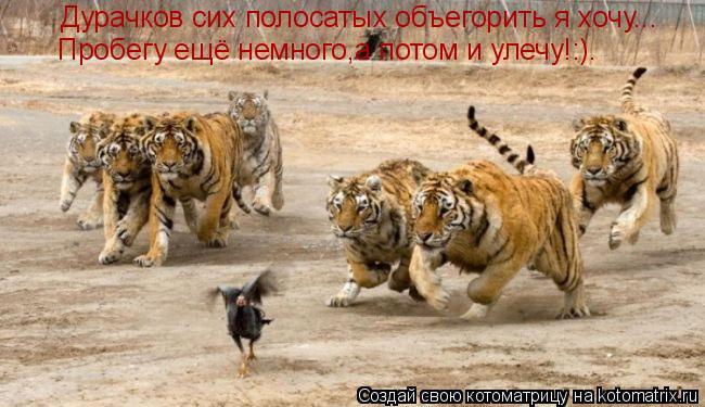 Котоматрица: Дурачков сих полосатых объегорить я хочу... Пробегу ещё немного,а потом и улечу!:).