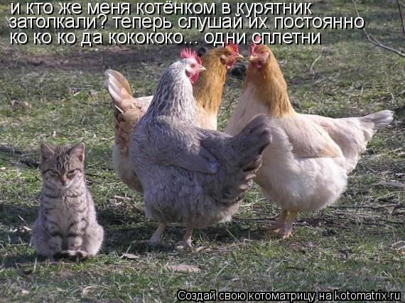 Котоматрица: и кто же меня котёнком в курятник  затолкали? теперь слушай их постоянно ко ко ко да кокококо... одни сплетни