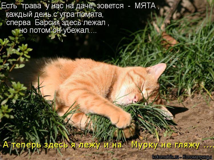 Котоматрица: Есть  трава  у нас на даче, зовется  -  МЯТА , каждый день с утра помята, сперва  Барсик здесь лежал , но потом он убежал.... А теперь здесь я лежу и