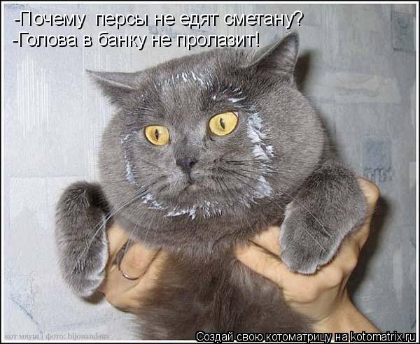 Котоматрица: -Почему  персы не едят сметану? -Голова в банку не пролазит!