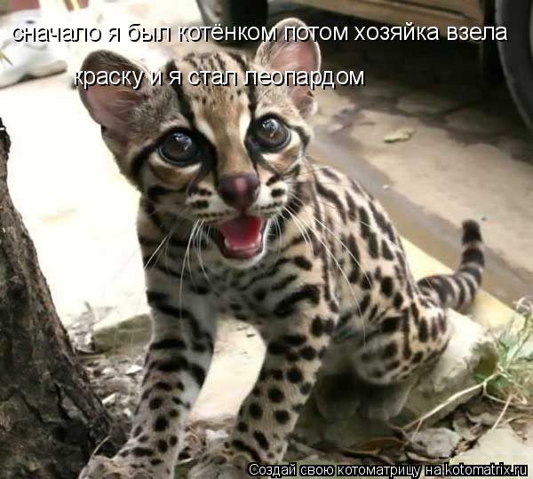 Котоматрица: сначало я был котёнком потом хозяйка взела краску и я стал леопардом