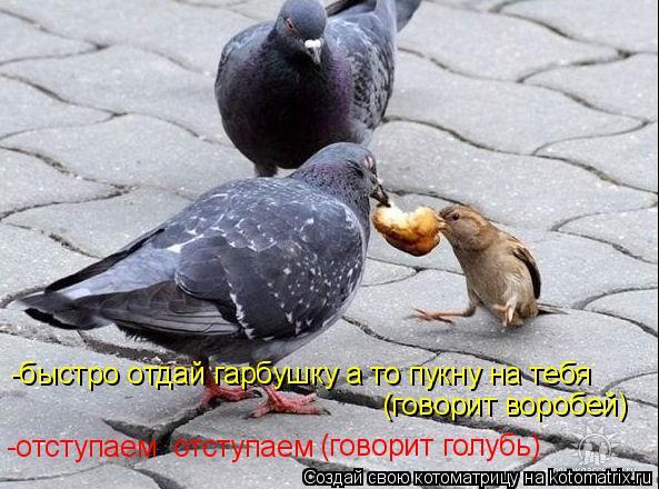 Котоматрица: -быстро отдай гарбушку а то пукну на тебя (говорит воробей) -отступаем  отступаем (говорит голубь)