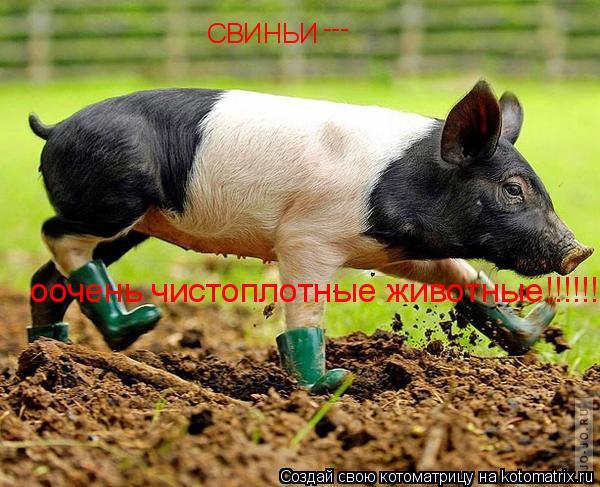 Котоматрица: СВИНЬИ --- оочень чистоплотные животные!!!!!!!