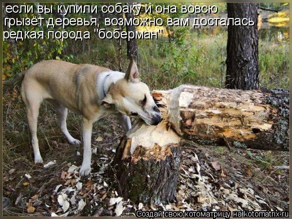 """Котоматрица: если вы купили собаку и она вовсю грызёт деревья, возможно вам досталась редкая порода """"боберман"""""""