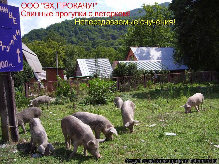 """Котоматрица: ООО """"ЭХ,ПРОКАЧУ!"""" Свинные прогулки с ветерком! Непередаваемые очучения!"""