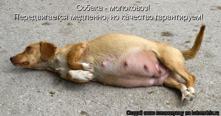 Котоматрица: Собака - молоковоз!  Передвигается медленно, но качество гарантируем!