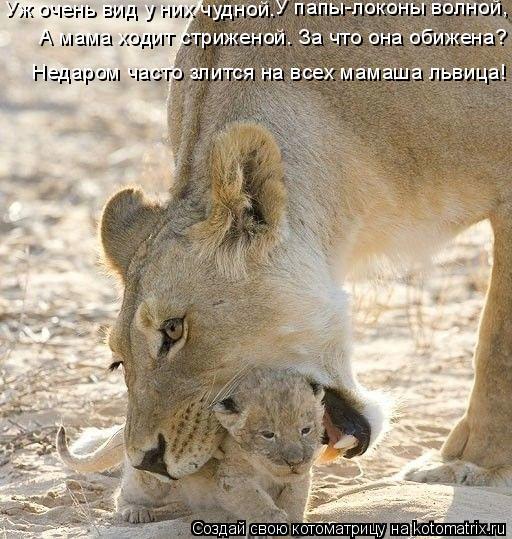 Котоматрица: Недаром часто злится на всех мамаша львица! А мама ходит стриженой. За что она обижена? Уж очень вид у них чудной. У папы-локоны волной,