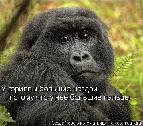 Котоматрица: У гориллы большие ноздри,   потому что у нее большие пальцы.