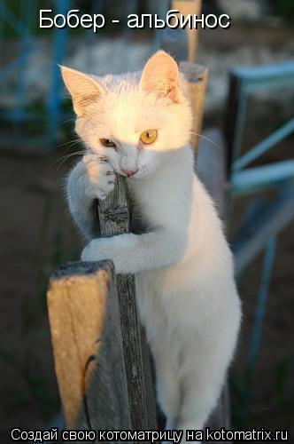 Котоматрица: Бобер - альбинос