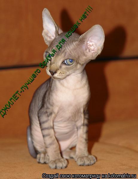 Котоматрица: ДЖИЛЕТ-лучшего бритья для кошек нет!!!