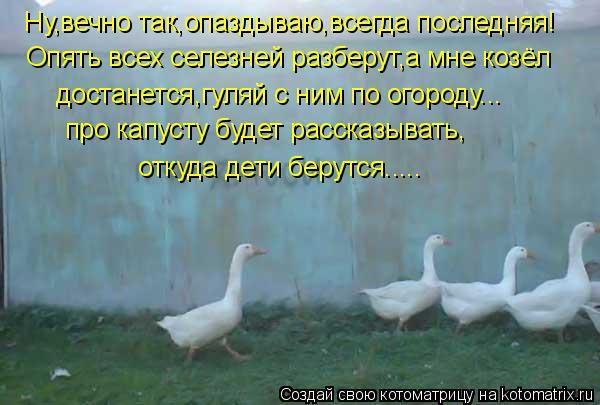 Котоматрица: Ну,вечно так,опаздываю,всегда последняя! Опять всех селезней разберут,а мне козёл  достанется,гуляй с ним по огороду... про капусту будет рас