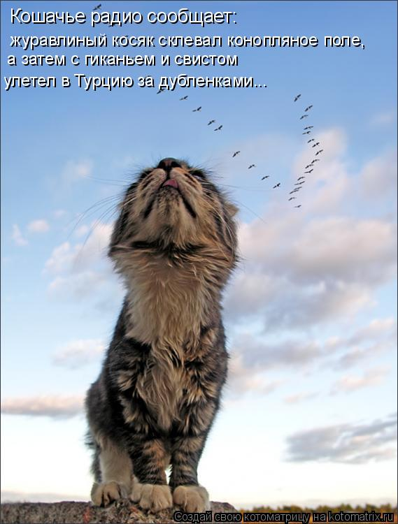 Котоматрица: Кошачье радио сообщает: журавлиный косяк склевал конопляное поле,  а затем с гиканьем и свистом улетел в Турцию за дубленками...