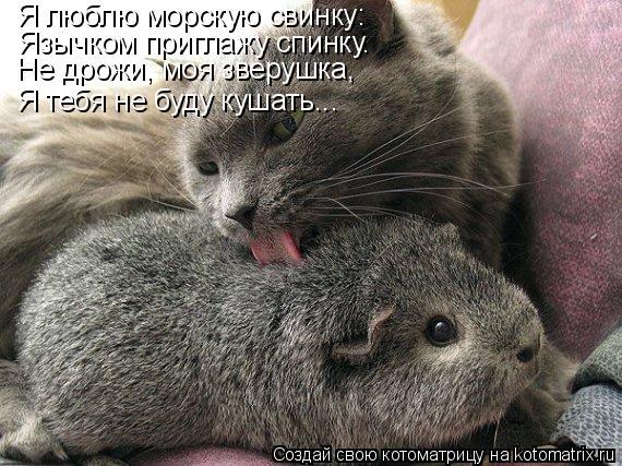 Котоматрица: Язычком приглажу спинку. Я люблю морскую свинку: Не дрожи, моя зверушка, Я тебя не буду кушать...