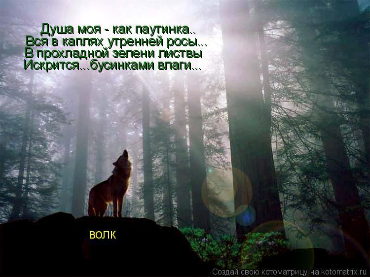 Котоматрица: Душа моя - как паутинка.. Вся в каплях утренней росы... В прохладной зелени листвы Искрится...бусинками влаги... волк