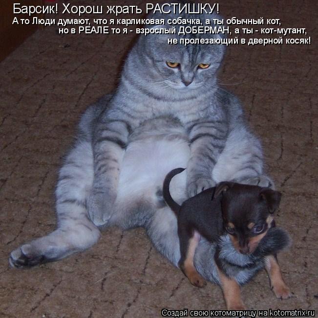 Котоматрица: Барсик! Хорош жрать РАСТИШКУ! А то Люди думают, что я карликовая собачка, а ты обычный кот, но в РЕАЛЕ то я - взрослый ДОБЕРМАН, а ты - кот-мутан