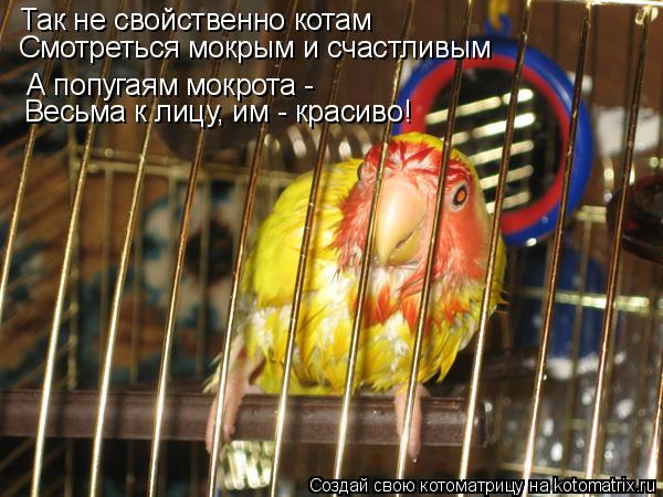 Котоматрица: Так не свойственно котам Смотреться мокрым и счастливым А попугаям мокрота -  Весьма к лицу, им - красиво!