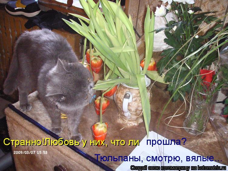 Котоматрица: Странно!Любовь у них, что ли Тюльпаны, смотрю, вялые... прошла?