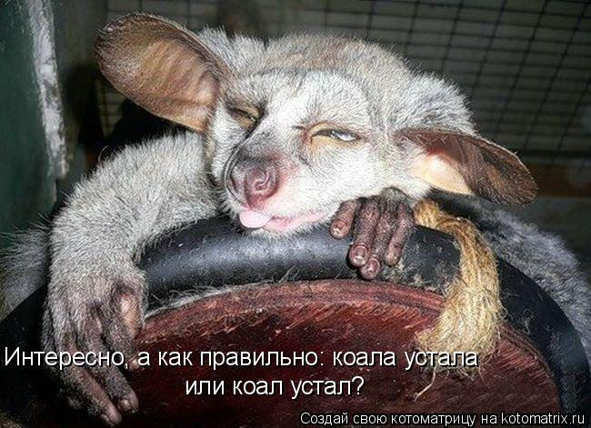 Котоматрица: Интересно, а как правильно: коала устала или коал устал?