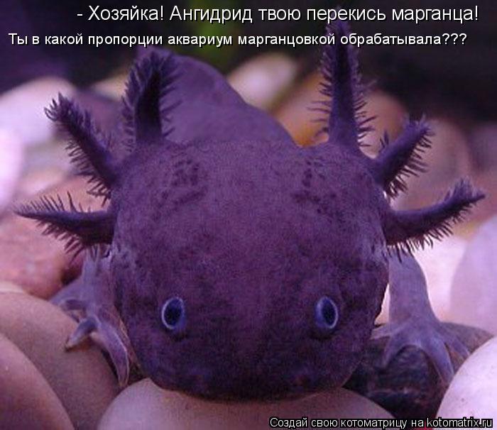 Котоматрица: - Хозяйка! Ангидрид твою перекись марганца! Ты в какой пропорции аквариум марганцовкой обрабатывала???