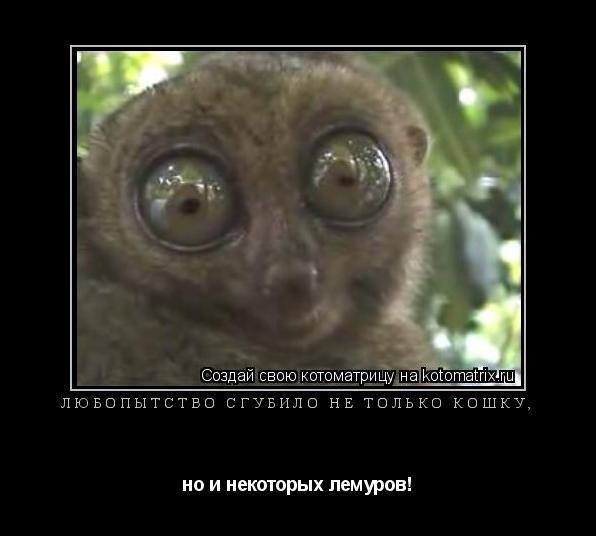 Котоматрица: Любопытство сгубило не только кошку,  но и некоторых лемуров!