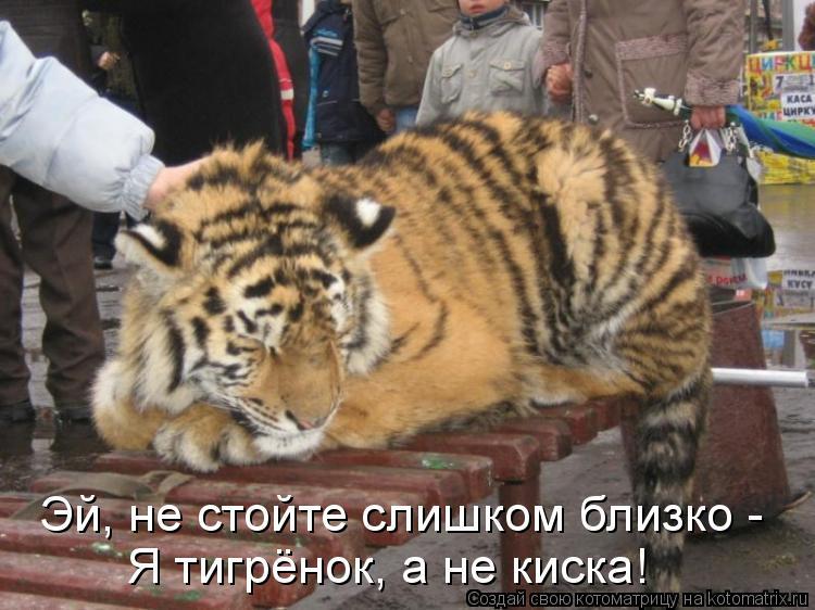 Котоматрица: Эй, не стойте слишком близко -  Я тигрёнок, а не киска!