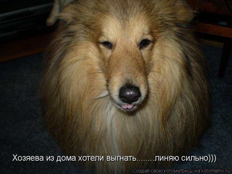 Котоматрица: Хозяева из дома хотели выгнать........линяю сильно)))