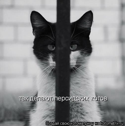 Котоматрица: так делают персидских котов