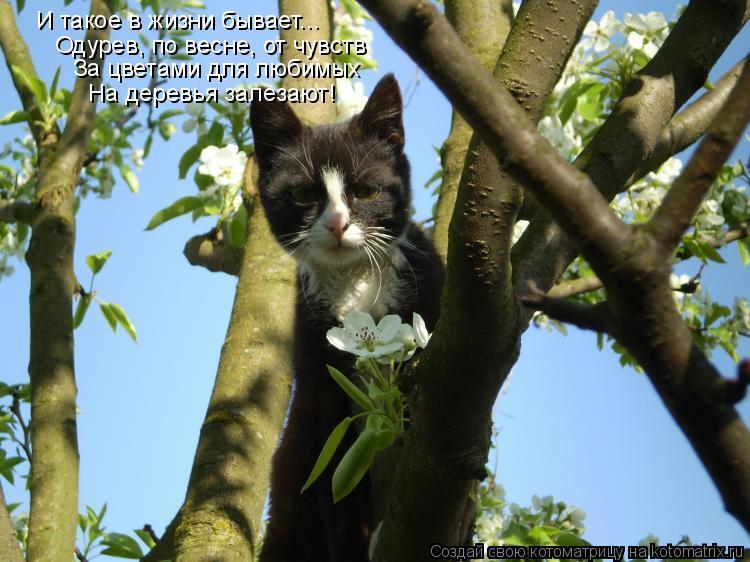 Котоматрица: И такое в жизни бывает... Одурев, по весне, от чувств За цветами для любимых На деревья залезают!