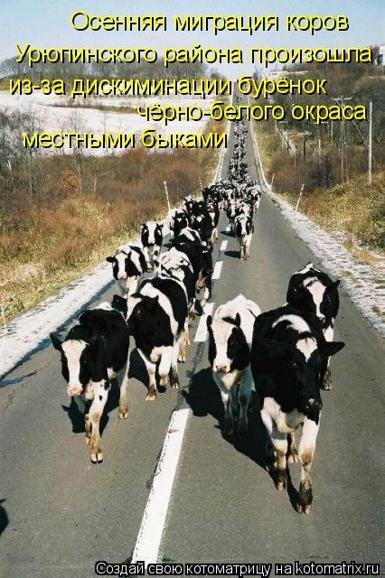 Котоматрица: из-за дискиминации бурёнок  чёрно-белого окраса  местными быками Урюпинского района произошла Осенняя миграция коров