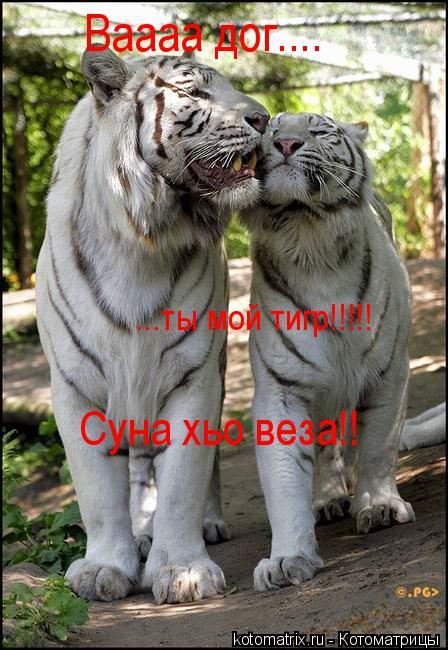 Котоматрица: Суна хьо веза!! ...ты мой тигр!!!!! Ваааа дог....