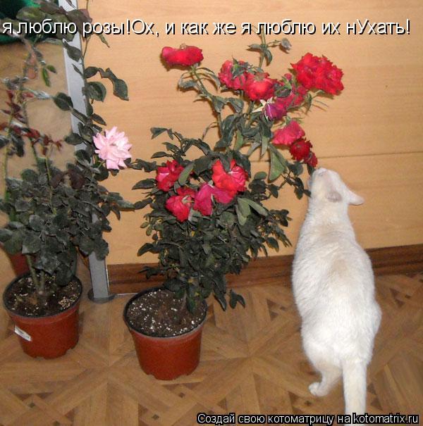 Котоматрица: я люблю розы!Ох, и как же я люблю их нУхать!