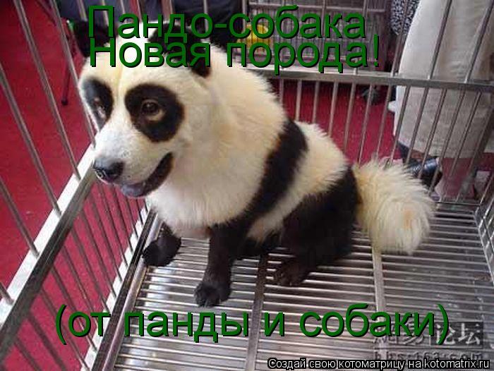 Котоматрица: Новая порода! Пандо-собака (от панды и собаки)