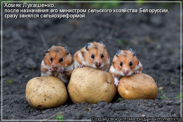 Котоматрица: Хомяк Лукашенко,  после назначения его министром сельского хозяйства Белоруссии,  сразу занялся сельхозреформой.