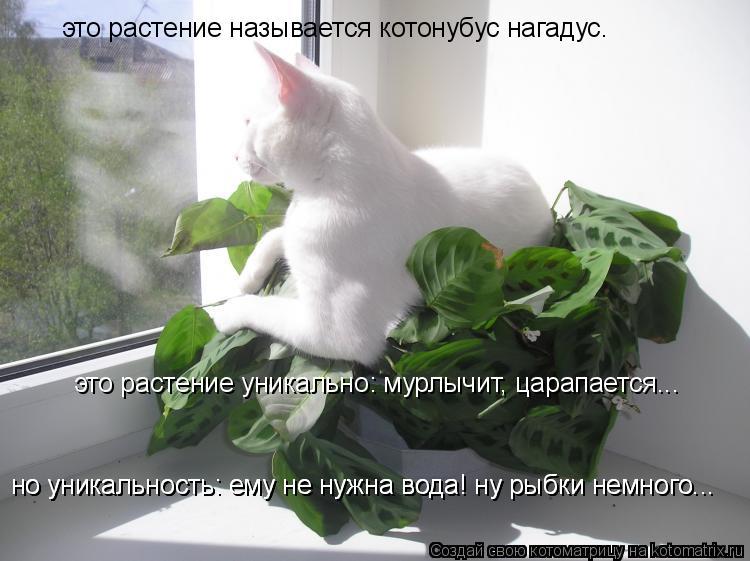 Котоматрица: это растение называется котонубус нагадус.  это растение уникально: мурлычит, царапается...  но уникально это то что ему не нужна вода! ну рыб