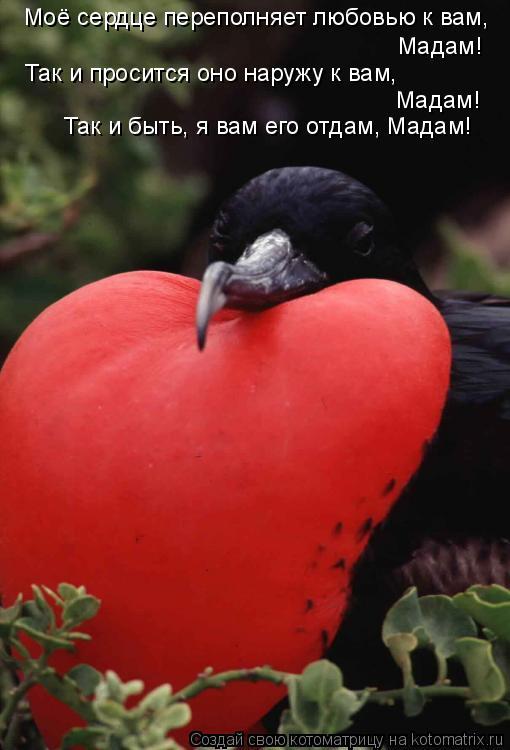 Котоматрица: Моё сердце переполняет любовью к вам, Мадам! Так и просится оно наружу к вам, Мадам! Так и быть, я вам его отдам, Мадам!