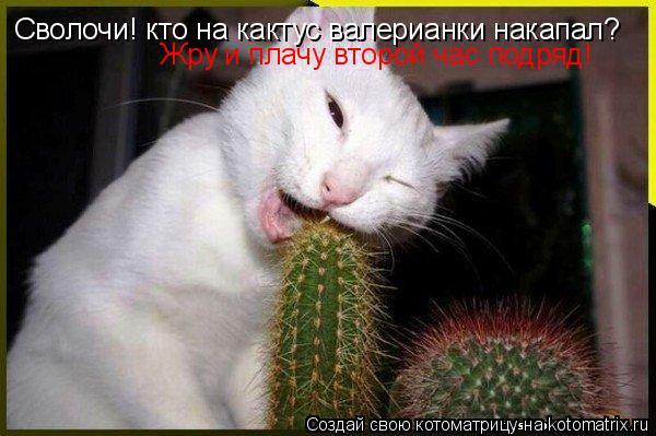 Котоматрица: Сволочи! кто на кактус валерианки накапал? Жру и плачу второй час подряд!