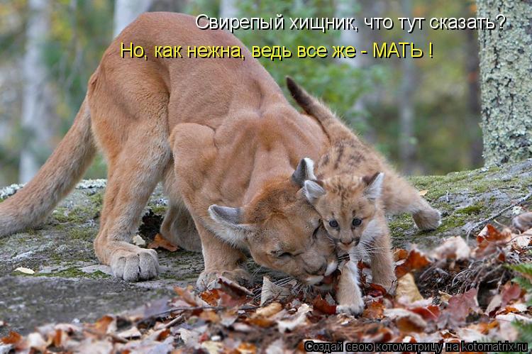 Котоматрица: Свирепый хищник, что тут сказать? Но, как нежна, ведь все же - МАТЬ !
