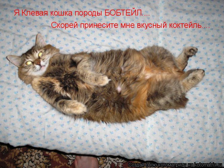 Котоматрица: Я Клевая кошка породы БОБТЕЙЛ.... Скорей принесите мне вкусный коктейль....