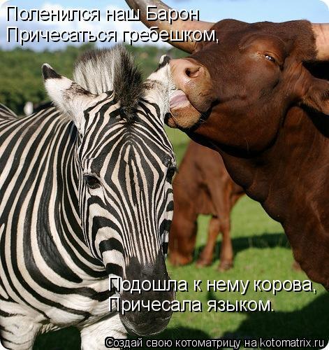 Котоматрица: Поленился наш Барон Причесаться гребешком, Подошла к нему корова, Причесала языком.