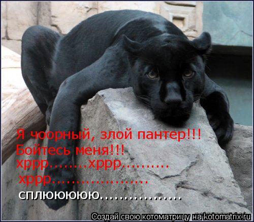 Котоматрица: Я чоорный, злой пантер!!! Бойтесь меня!!! хррр........хррр.......... хррр.................... сплююююю.................