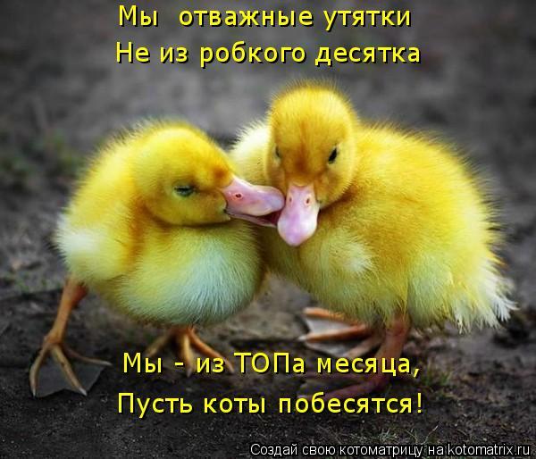 Котоматрица: Мы  отважные утятки  Не из робкого десятка Мы - из ТОПа месяца,  Пусть коты побесятся!