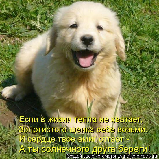 Котоматрица: Если в жизни тепла не хватает, Золотистого щенка себе возьми. И сердце твое вмиг оттает - А ты солнечного друга береги!