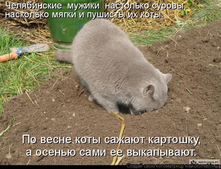 Котоматрица: а осенью сами ее выкапывают. По весне коты сажают картошку, Челябинские  мужики  настолько суровы, насколько мягки и пушисты их коты.