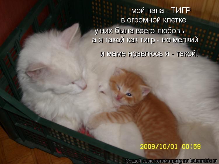 Котоматрица: мой папа - ТИГР в огромной клетке у них была всего любовь а я такой как тигр - но мелкий и маме нравлюсь я - такой!