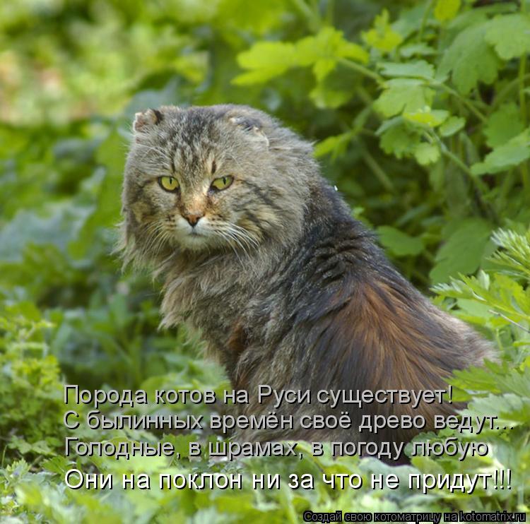Котоматрица: Порода котов на Руси существует! С былинных времён своё древо ведут... Голодные, в шрамах, в погоду любую Они на поклон ни за что не придут!!!