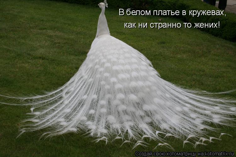Котоматрица: В белом платье в кружевах, как ни странно то жених!