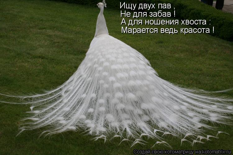 Котоматрица: Ищу двух пав , Не для забав ! А для ношения хвоста : Марается ведь красота !