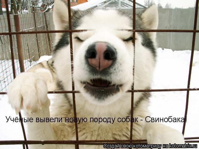 Котоматрица: Учёные вывели новую породу собак - Свинобака!